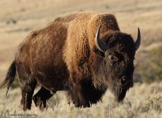 Yellowstone-NP-Bison