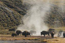 Yellowstone-NP-Bisonherde