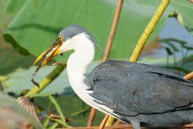 pied-heron