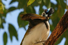 f-blue-faced-honeyeater