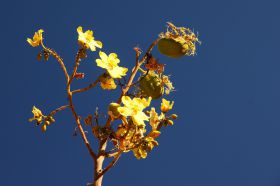 Der Kapokbaum