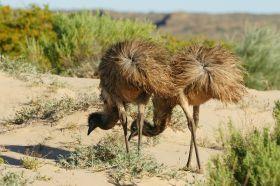 Emus in den Dünen
