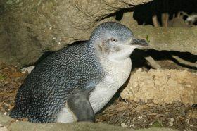 kangoroo-island-pinguin
