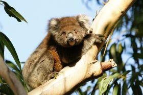 koala-kangoroo-island