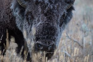 Yellowstone-graues-Bison